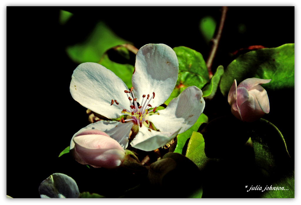 Quince Blossom by julzmaioro