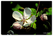 19th Oct 2018 - Quince Blossom