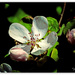 Quince Blossom