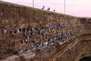 19th Oct 2018 - 100's of pigeons!