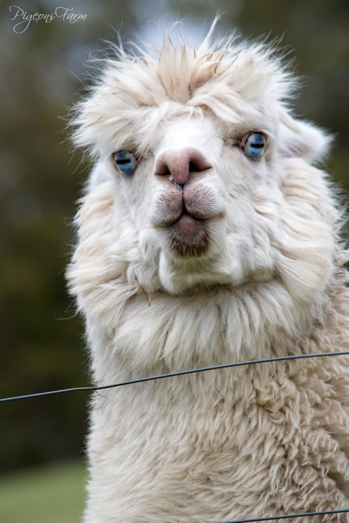 Portraits of an Alpaca - #3 by kgolab