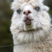 Portraits of an Alpaca - #3 by kgolab