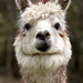 Portraits of an Alpaca - #2 by kgolab