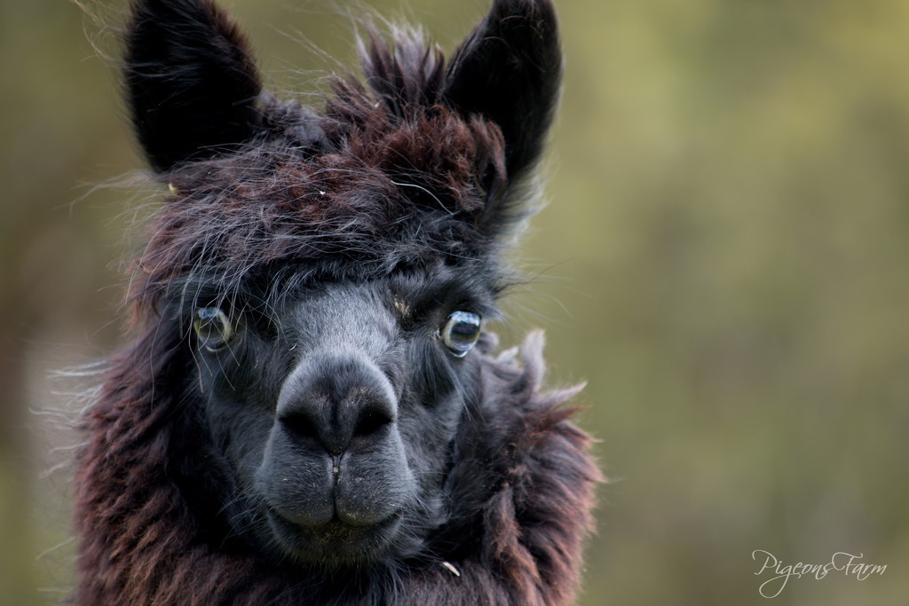 Portraits of an Alpaca - #1 by kgolab
