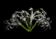19th Oct 2018 - Nerine Flower
