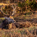 Red Stag Resting  by rjb71