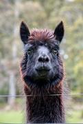 20th Oct 2018 - Portraits of an Alpaca - #4