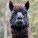 Portraits of an Alpaca - #4