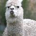 Portraits of an Alpaca - #5