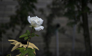18th Oct 2018 - the rose