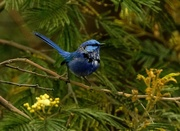 20th Oct 2018 - Splendid fairy wren - Perth Western Australia