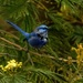 Splendid fairy wren - Perth Western Australia by maureenpp