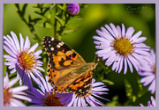 20th Oct 2018 - Painted Lady Butterfly