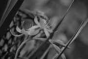 20th Oct 2018 - Lily bw.......