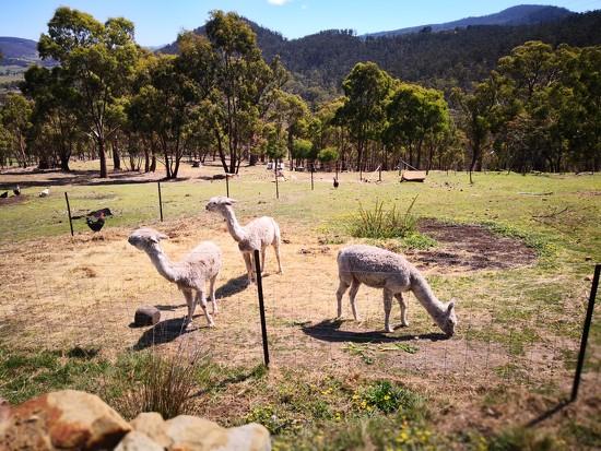 Our Alpacas by kgolab