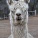 Portraits of an Alpaca - # 7