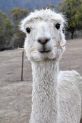 21st Oct 2018 - Portraits of an Alpaca - # 6