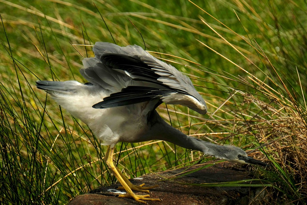 White faced heron - full stretch by maureenpp