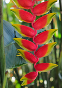 17th Oct 2018 - Heliconia