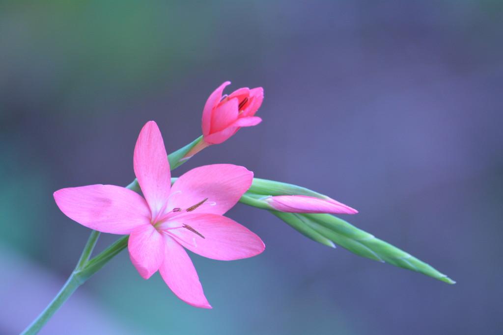 Hesperantha lily...... by ziggy77