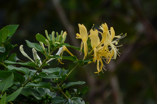Honeysuckle... by thewatersphotos