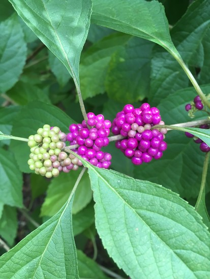 beautyberry  by wiesnerbeth