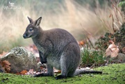 22nd Oct 2018 - wallaby