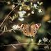 Common Buckeye Moth by jnorthington
