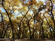 22nd Oct 2018 - Haiku for Cottonwood Forest (Bosque)
