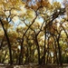 Haiku for Cottonwood Forest (Bosque)