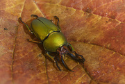 21st Oct 2018 - Green Stag Beetle