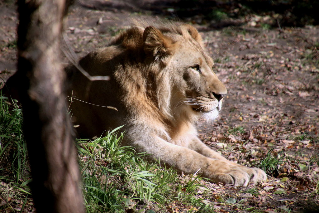 Lion Relaxing by randy23