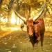 Ugandan Ankoke bull