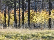 23rd Oct 2018 - Two Deer in a New Aspen Forest