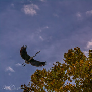 23rd Oct 2018 - The Great Blue Heron- chase
