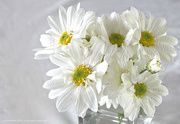 23rd Oct 2018 - white daisy