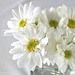 white daisy by summerfield