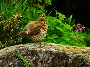 24th Oct 2018 - Baby thrush