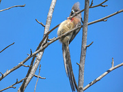 24th Oct 2018 - Mousebird not cropped