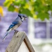 Another bluejay by pamknowler