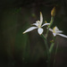 White Fairy Orchid by jodies