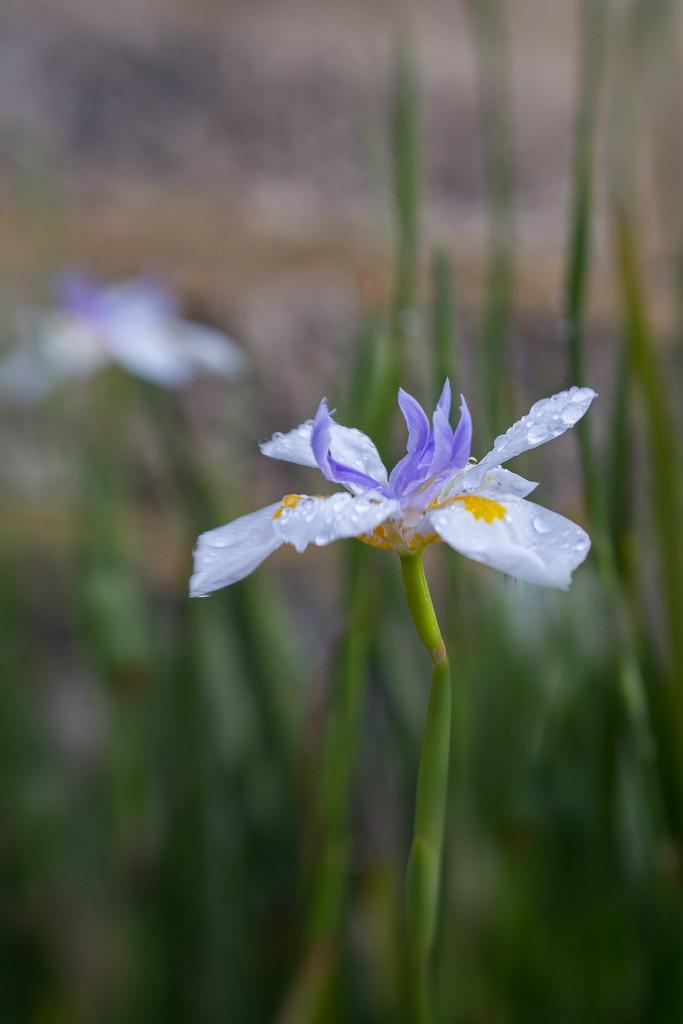 Iris by gosia