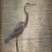 Finally a heron posing by pamknowler