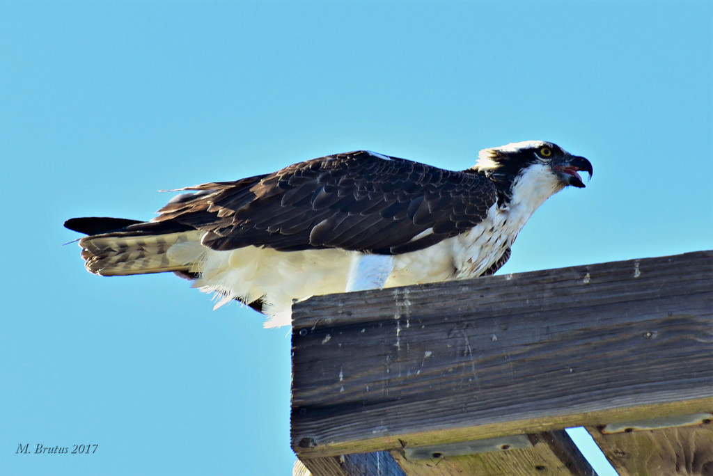 Osprey at the Dinner Table by mbrutus