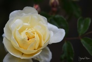 26th Oct 2018 - Yellow Rose