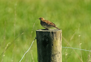 26th Oct 2018 - Skylark