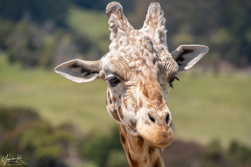 Giraffe by yorkshirekiwi