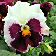 25th Oct 2018 - Pansy Face
