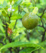 28th Oct 2018 - Ornamental Lime