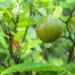 Ornamental Lime
